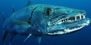 Barracuda i Sulawesisjön