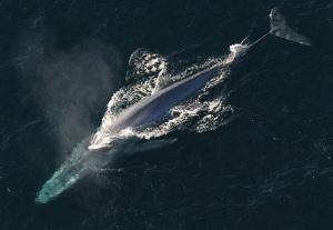 Blåval i Berings hav
