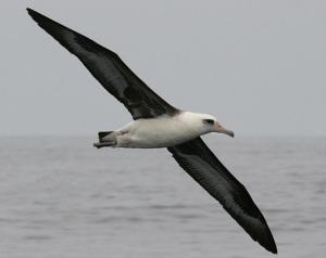 Albatross på Midwayöarna