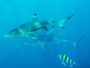 Haj vid Salomonöarna